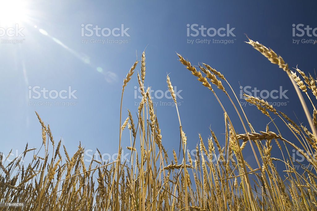 Ears of wheat against the blue sky royalty-free stock photo