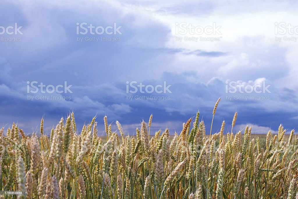 Ears of wheat against the sky royalty-free stock photo