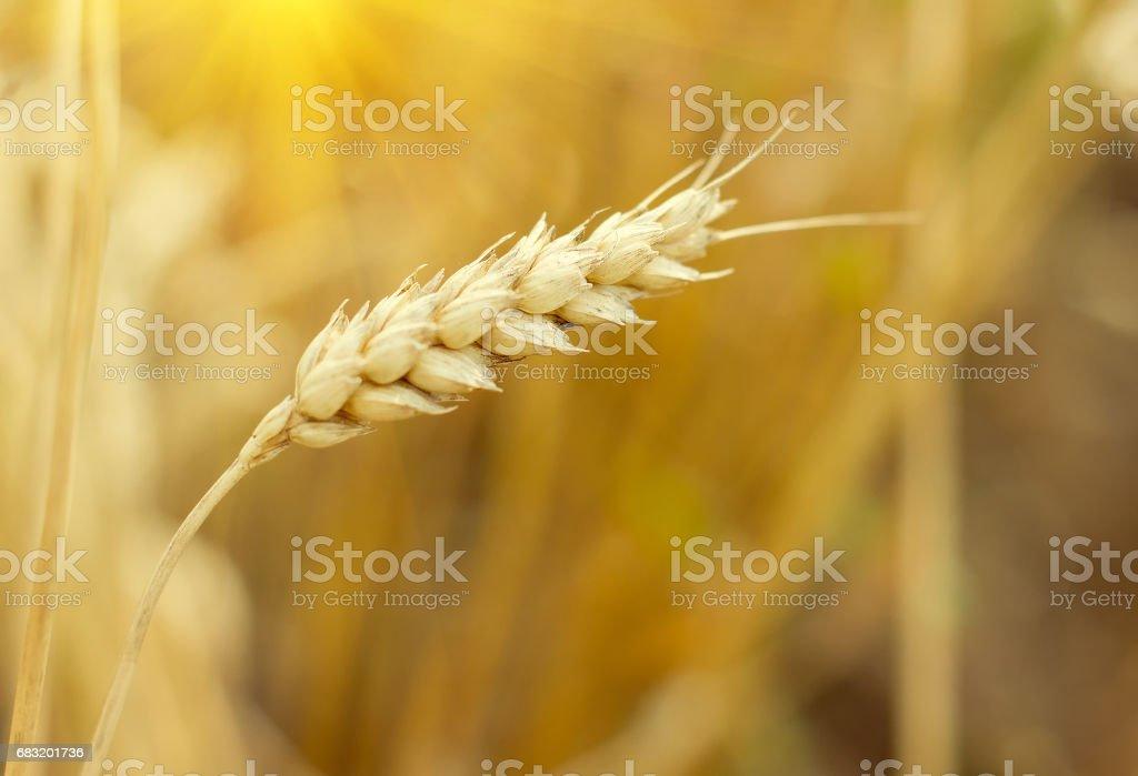 収穫時の小麦のクローズ アップの耳。農業農村の背景 ロイヤリティフリーストックフォト