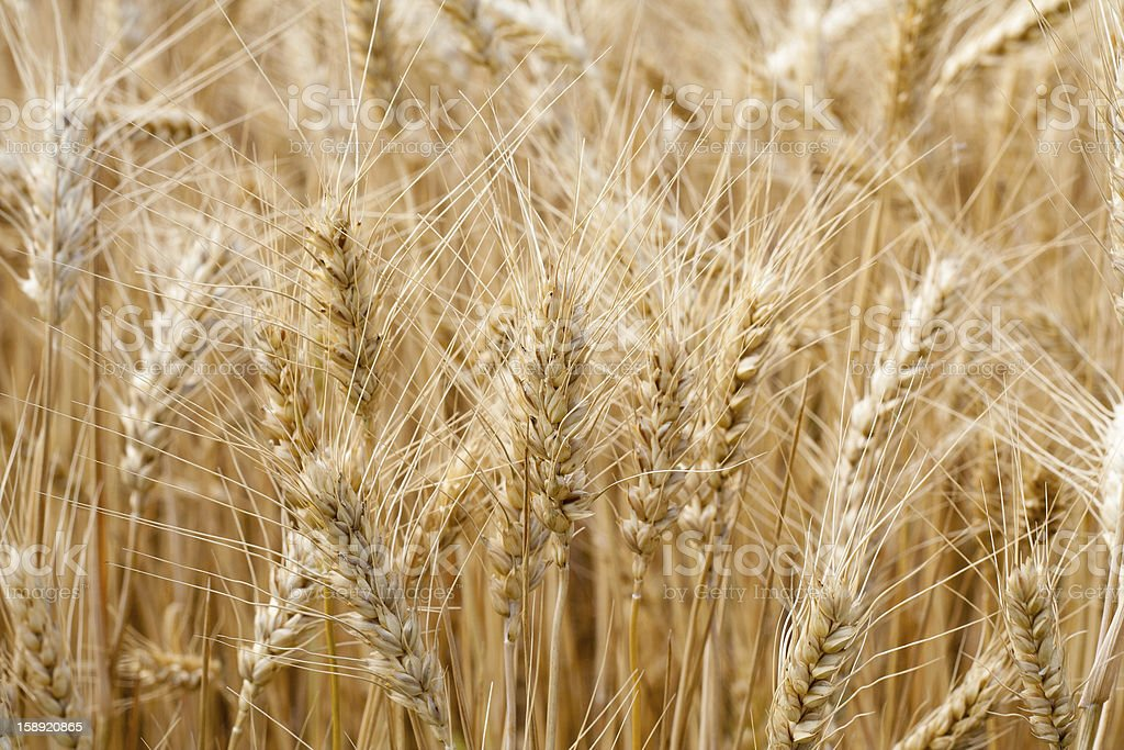 Ears of wheat in a field royalty-free stock photo