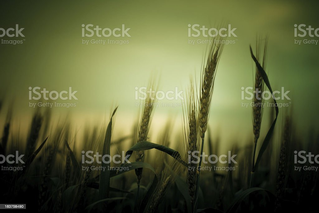 Ears of wheat in the evening royalty-free stock photo
