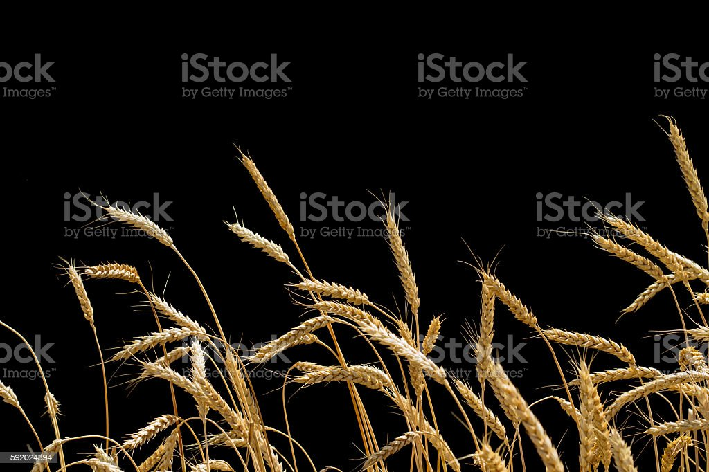 ears of wheat on a black background стоковое фото