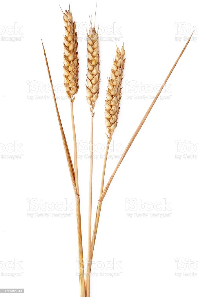 Ears of wheat on a white background royalty-free stock photo