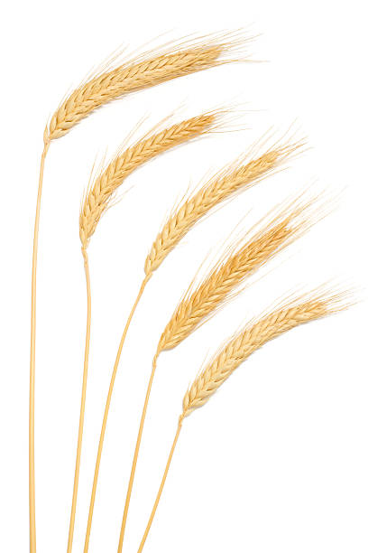 Ears of Wheat Ears of wheat on a white background with soft shadows. ear of wheat stock pictures, royalty-free photos & images