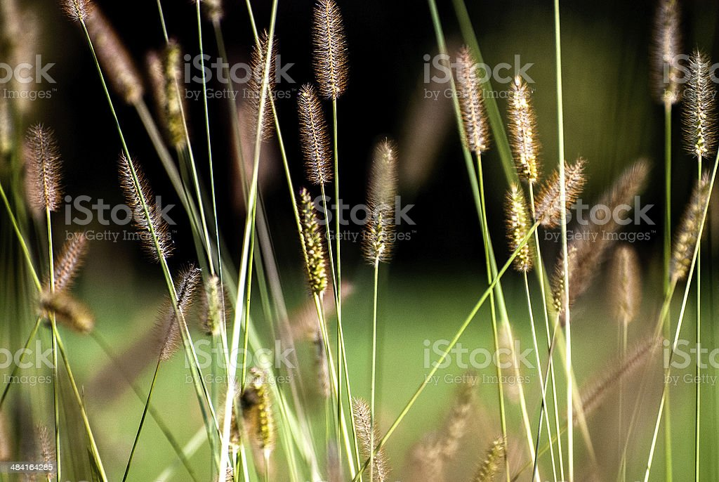 Spighe di grano stock photo