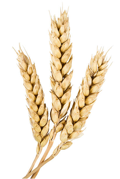 ears of wheat three mature ears of wheat on a white background spelt stock pictures, royalty-free photos & images