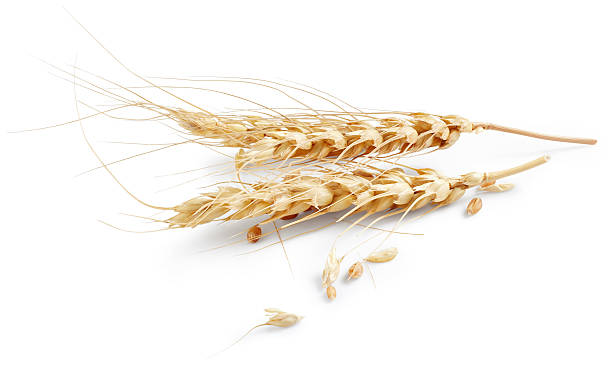 Ears of wheat Ears of wheat isolated on white background ear of wheat stock pictures, royalty-free photos & images