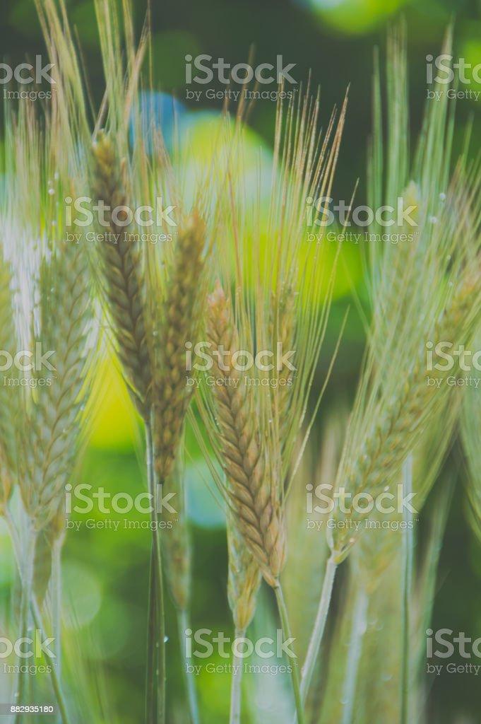 ears of wheat, rye, closeup stock photo