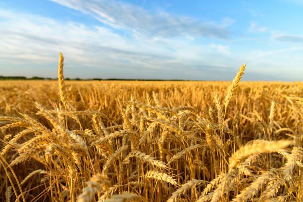 Die Ohren von Weizen. Weizenfeld – Foto