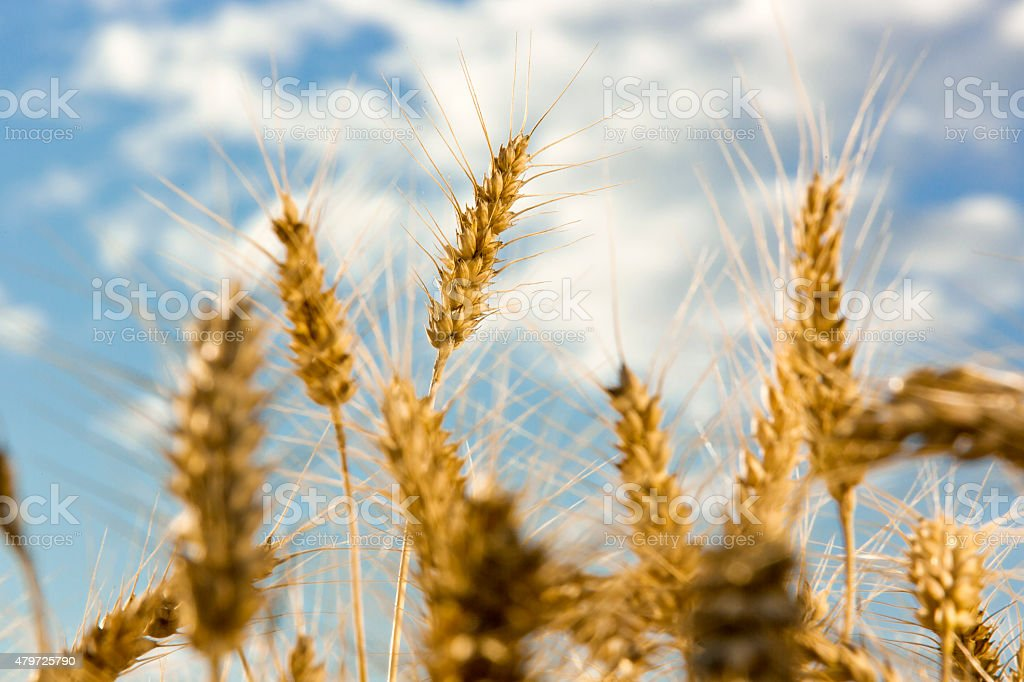 ears of wheat with sky background stock photo