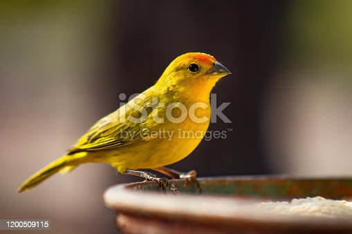 The real canary (Sicalis flaveola) is also known as the garden canary. Photo for background.