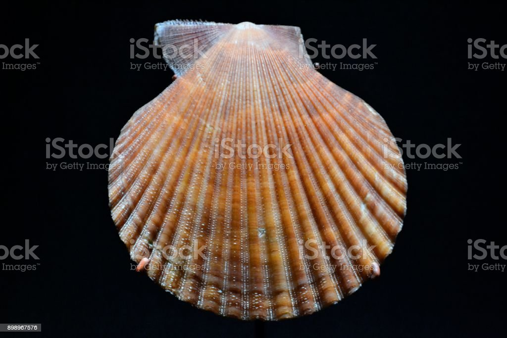 Earth colored seashell stock photo
