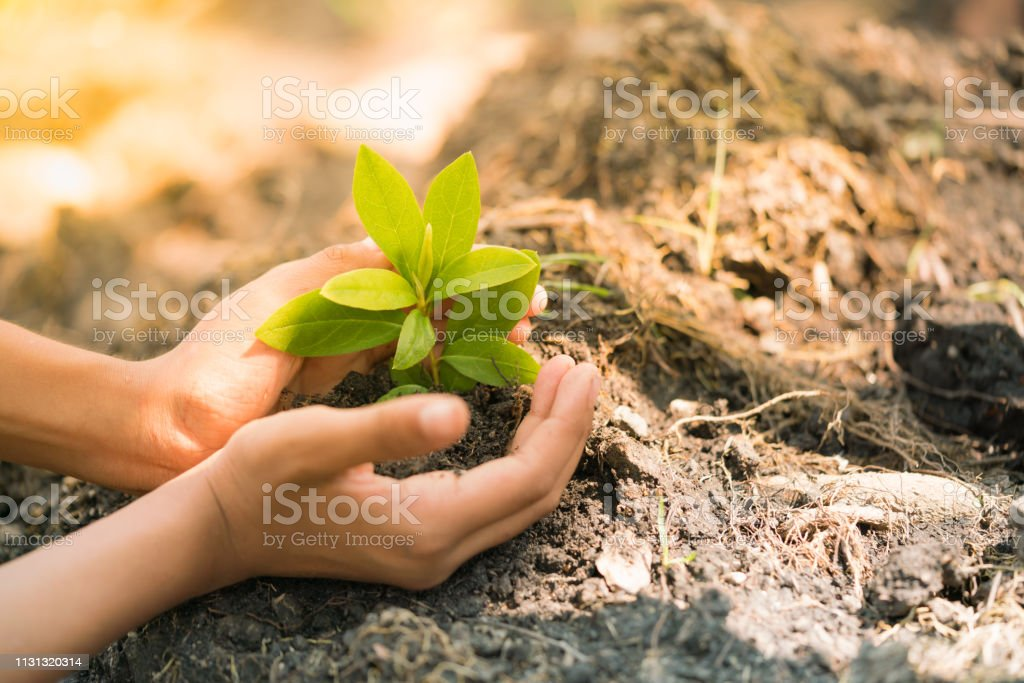 In the hands of trees growing seedlings with green nature and sun...