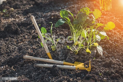 Earth Day concept. Cabbage seedlings with visible roots and tools - shovels and rakes, prepared for planting land.