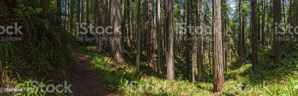 Earth trail through Giant Redwood trees cloud forest California stock photo