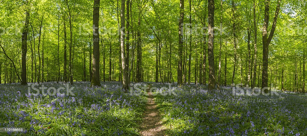 Earth trail through idyllic bluebell woods green summer forest panorama stock photo