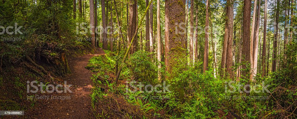 Earth trail through sequoia tree forest Redwood National Park panorama stock photo