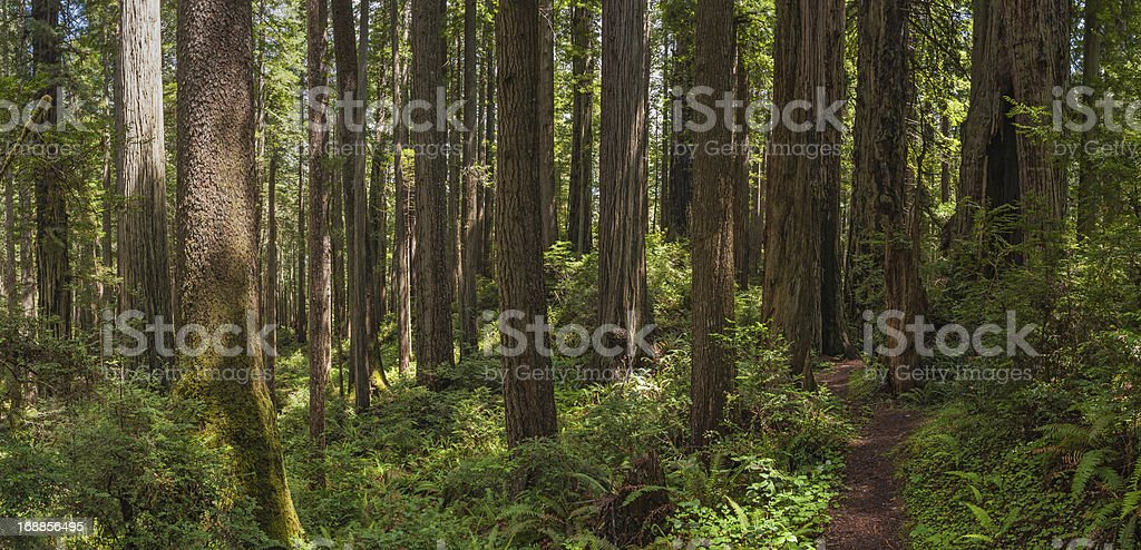 Earth trail through unspoilt Redwood Sequoia forest wilderness stock photo