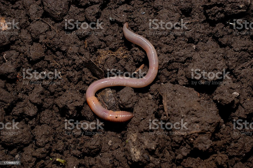 earth worm in soil stock photo