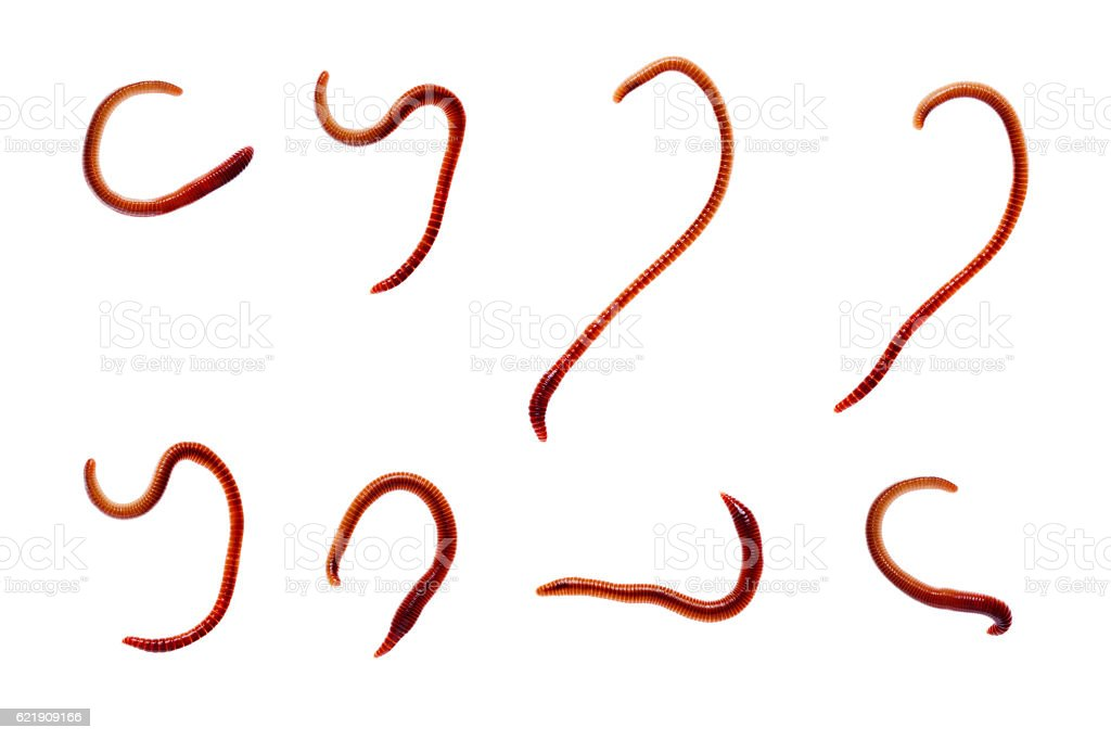 Earth worm isolated on white background stock photo