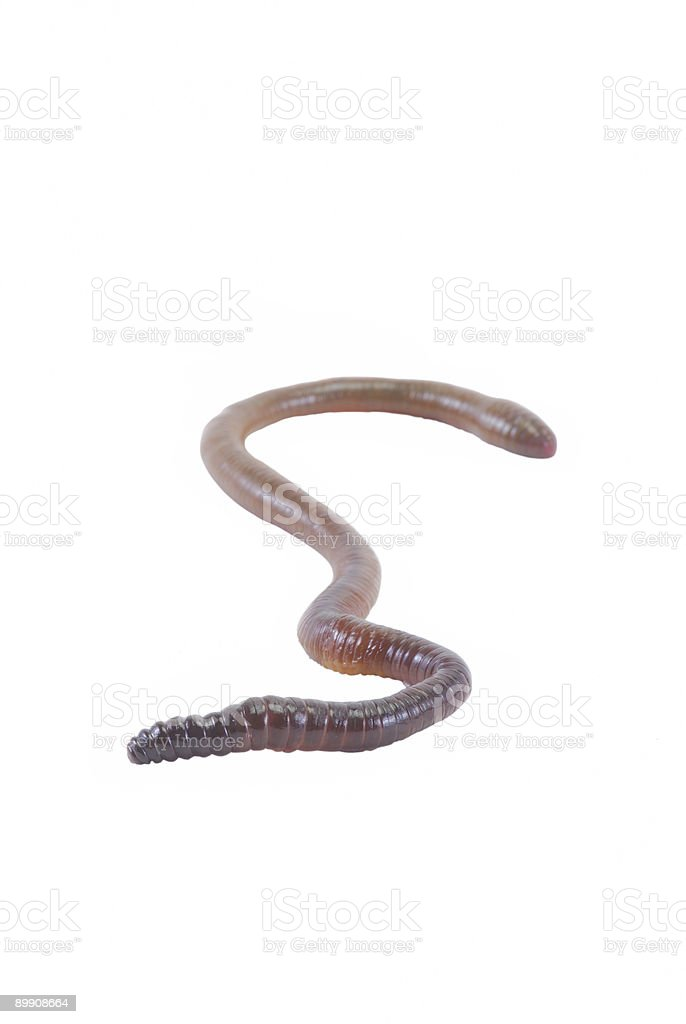 Earth worm isolated w/clipping path royalty-free stock photo