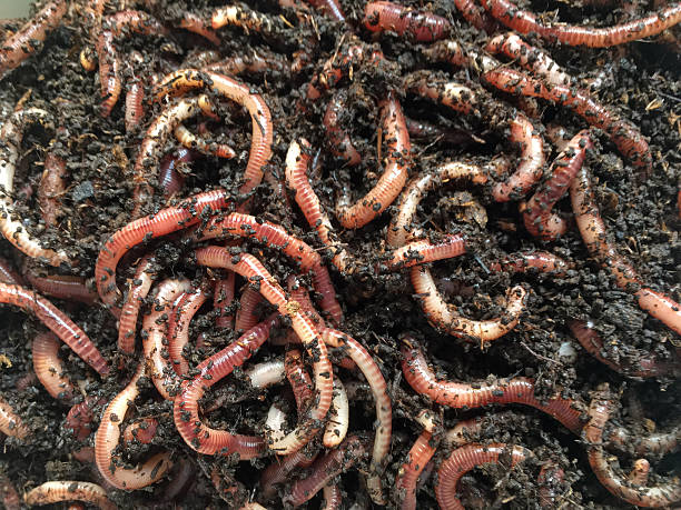 earth worms for composter or fishing - gusano fotografías e imágenes de stock