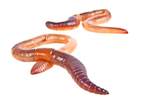 Earth worms isolated on white background Earth worms isolated on white background nematode worm stock pictures, royalty-free photos & images