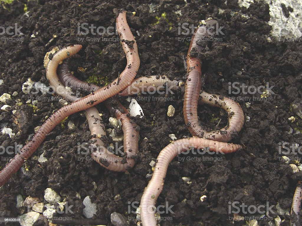 Earth Worms - Royalty-free Close-up Stock Photo