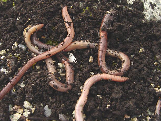 Earth Worms stock photo