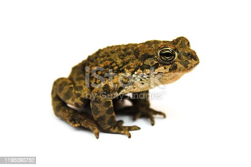 Earth toad close-up isolated on a white background