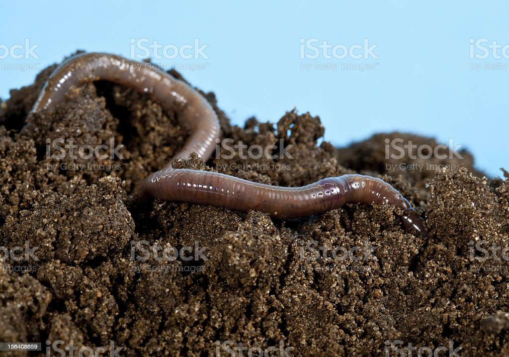 Earthworm in a heap of soil stock photo