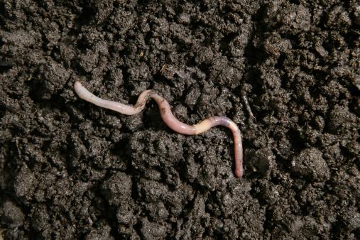 Earthworm in the dirt