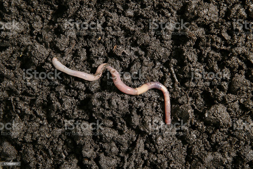 Earthworm in the dirt stock photo