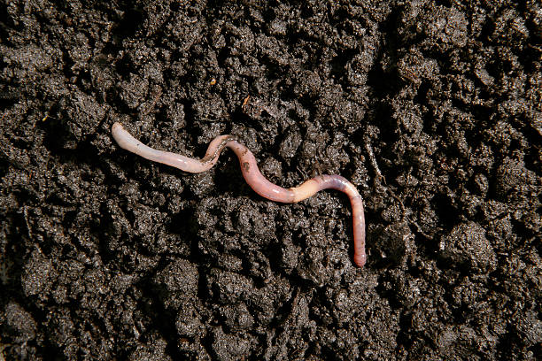 Earthworm in the dirt Earthworm in the dirt worm stock pictures, royalty-free photos & images