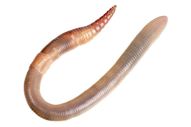 Earthworm Isolated On White  worm stock pictures, royalty-free photos & images