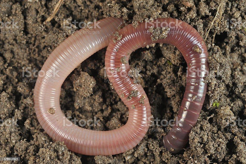 Earthworm Lumbricus Terrestris In The Soil Stock Photo More