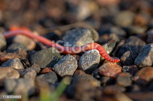 Earthworm crawling over a small rocky landscape