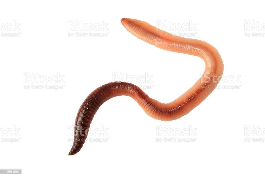 Earthworm stock photo