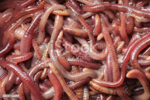 Earthworms close-up.