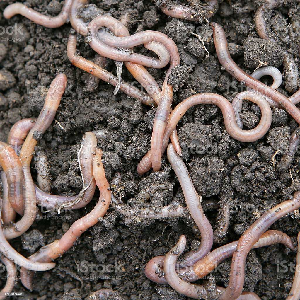 Earthworms close-up stock photo