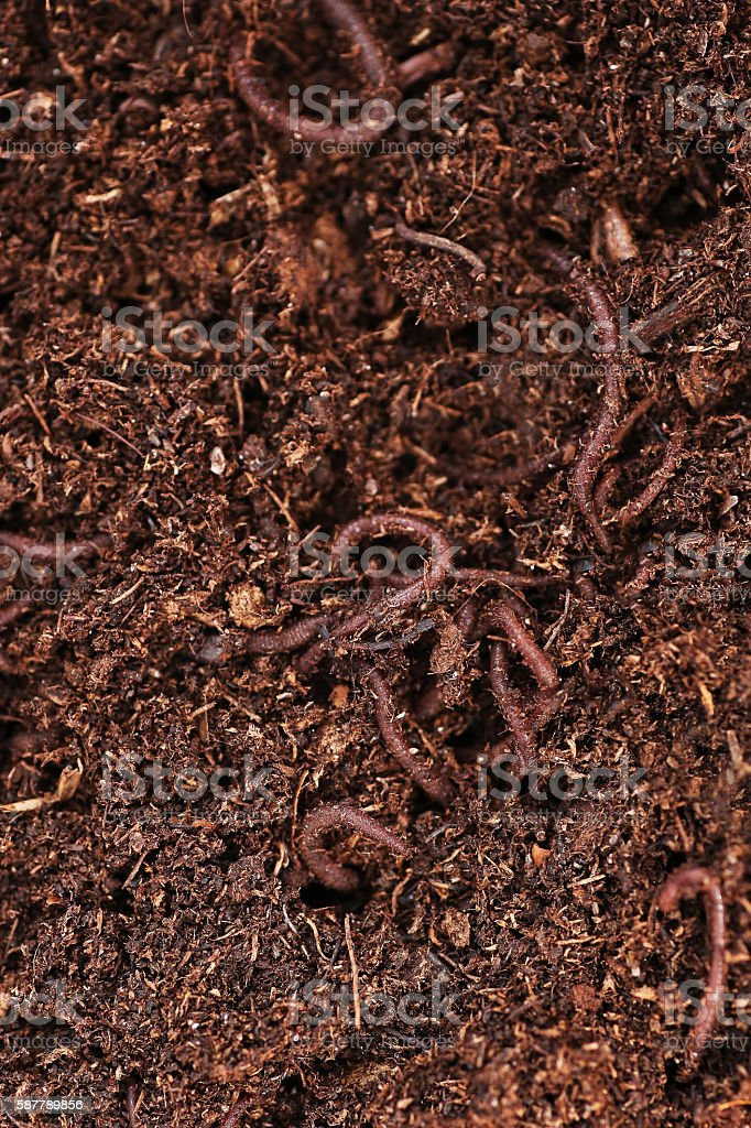 Earthworms in Dirt stock photo