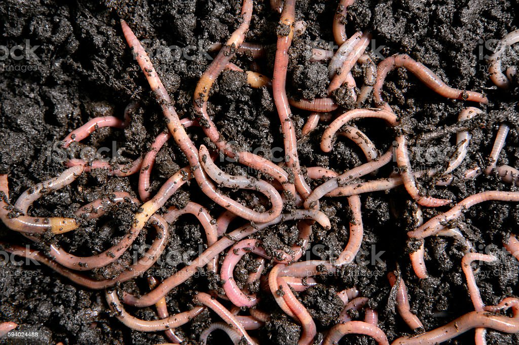 Earthworms in the dirt stock photo