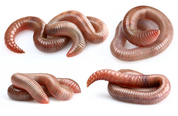 Earthworms my other earthworms pictures: worm stock pictures, royalty-free photos & images