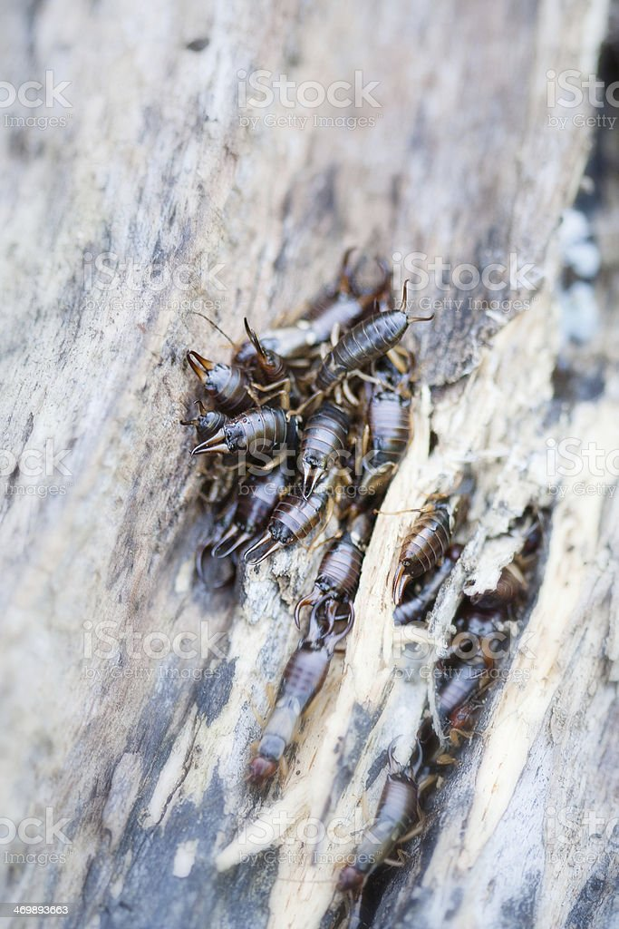 Earwigs on wood, macro photo royalty-free stock photo