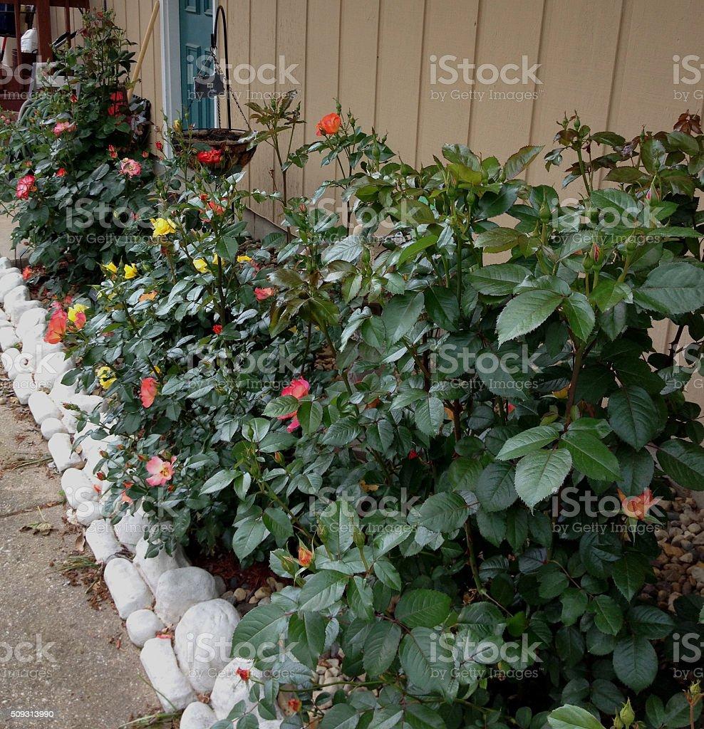 Eary Spring Rose Garden stock photo