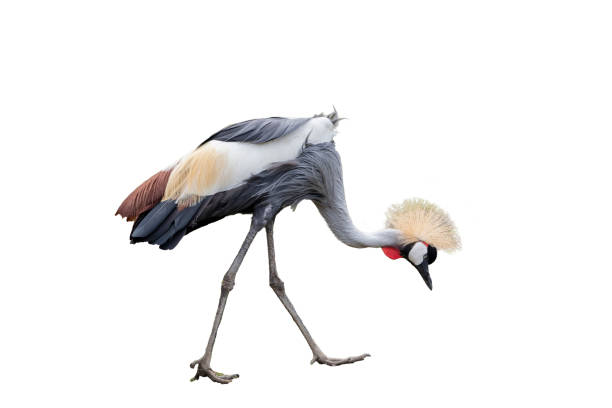 east aferican crowned crane - crane bird stock pictures, royalty-free photos & images