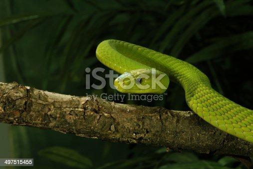 Venomous East African Green Mamba Snake
