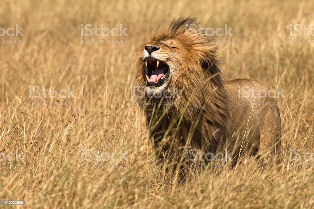 East African Lion (Panthera leo nubica) stock photo