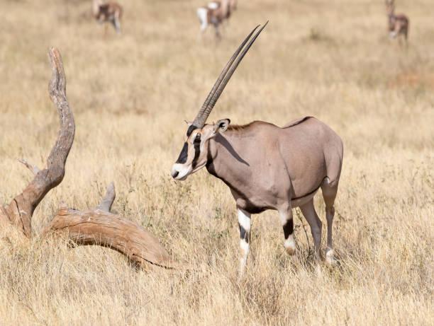 East African Oryx Stock Photo stock photo