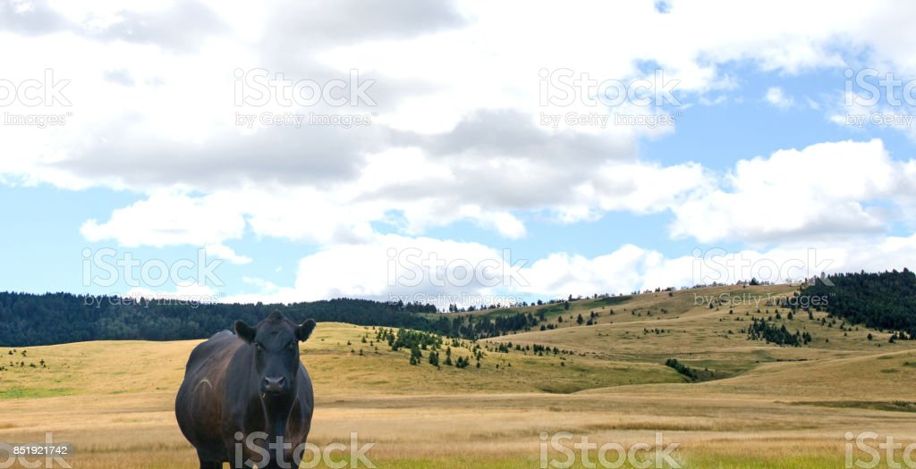 East Highway 40 route with Black Angus,  Alberta stock photo